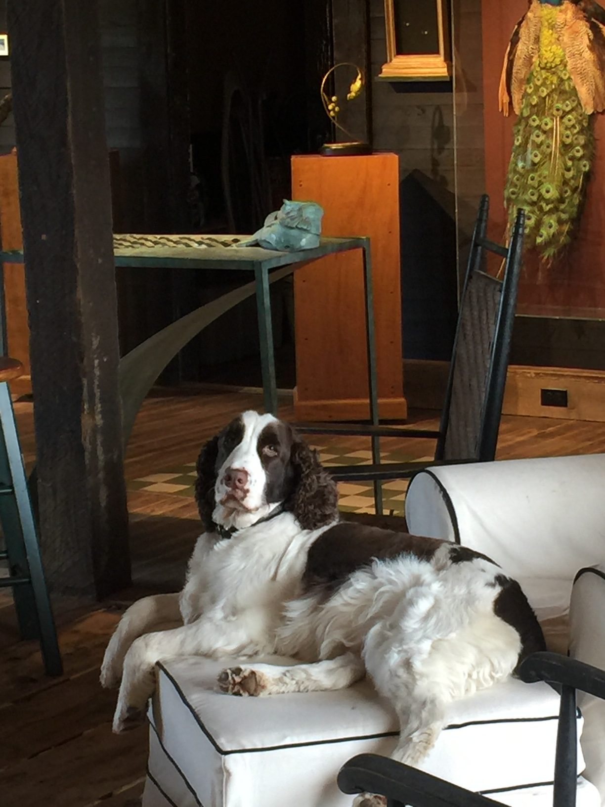 Diana's dog Cooper in the studio